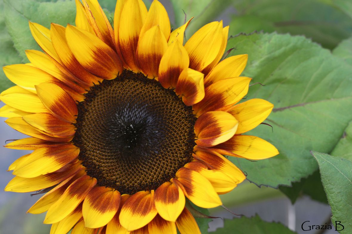 Sunflower blog.jpg