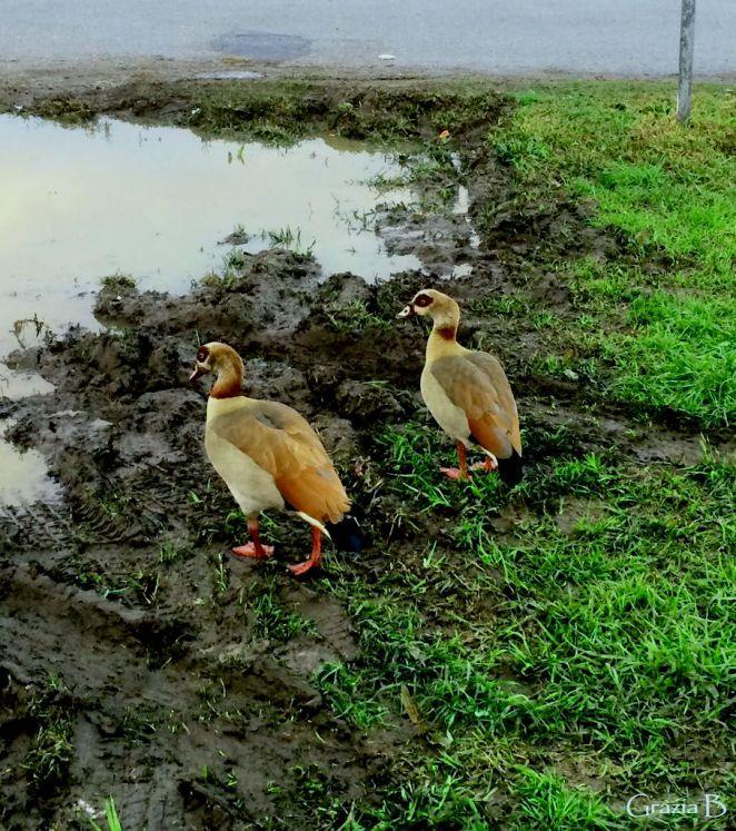 Ducks edit